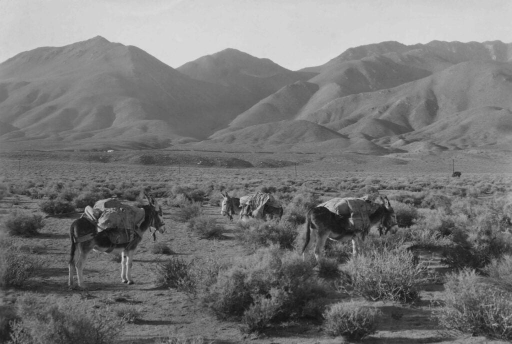 Burros in Death Valley in the 1900s