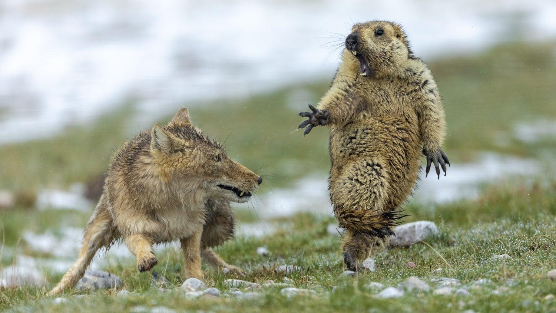 A fox attacking a marmot