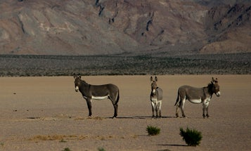 Does Death Valley have a wild ass problem?