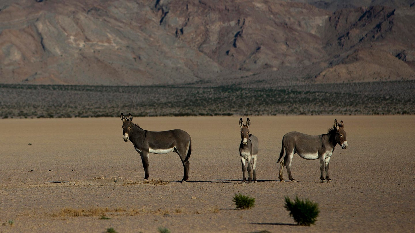 Wild burros on a dry lake bed