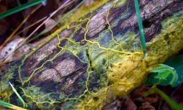 What has hundreds of sexes and excels at math? This is Slime Molds 101.