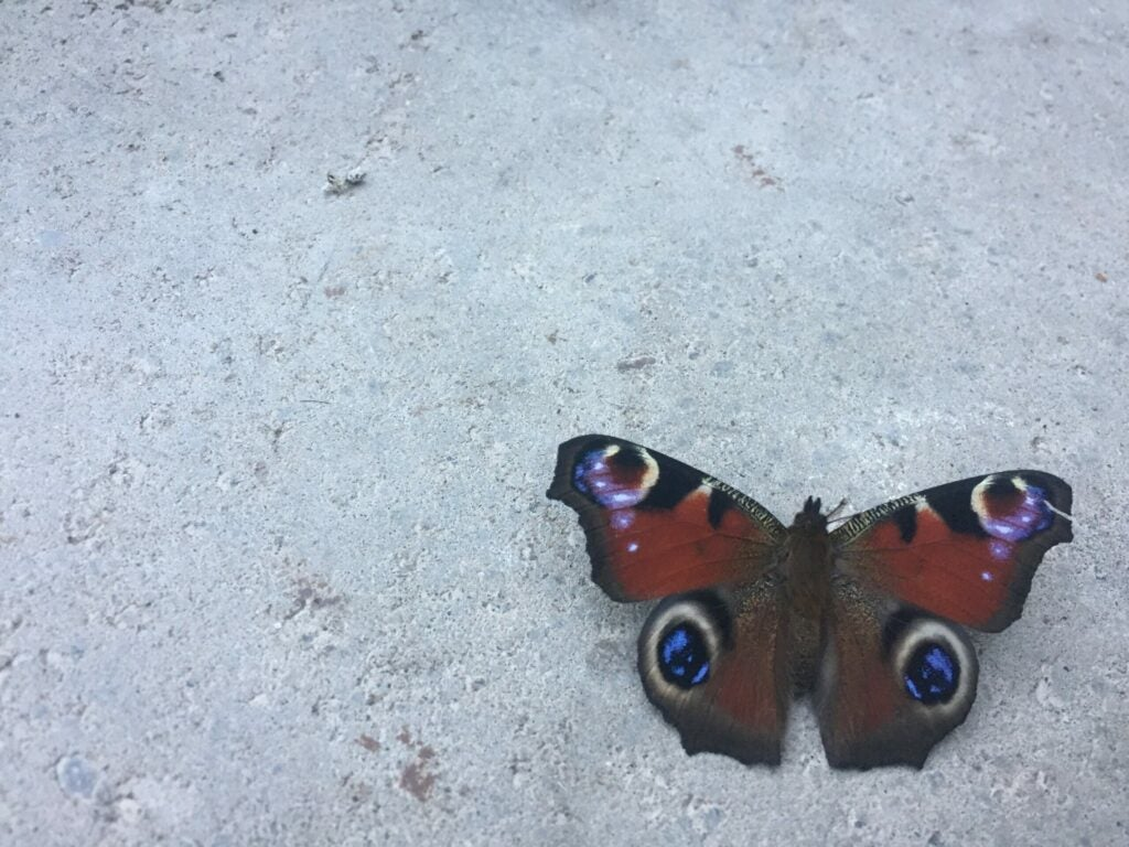 red butterfly with blue spots against white background