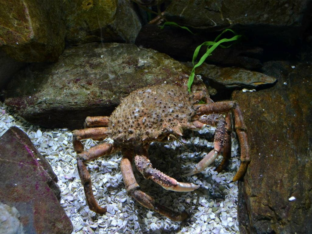 Spider Crab.