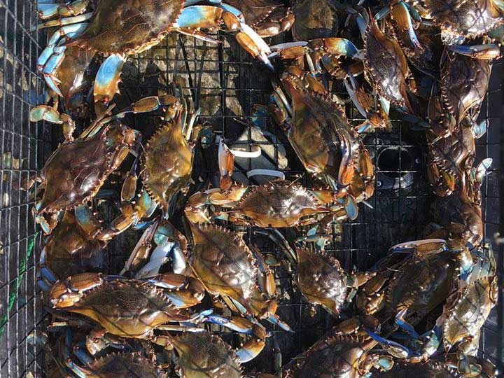 Blue crabs in a trap.