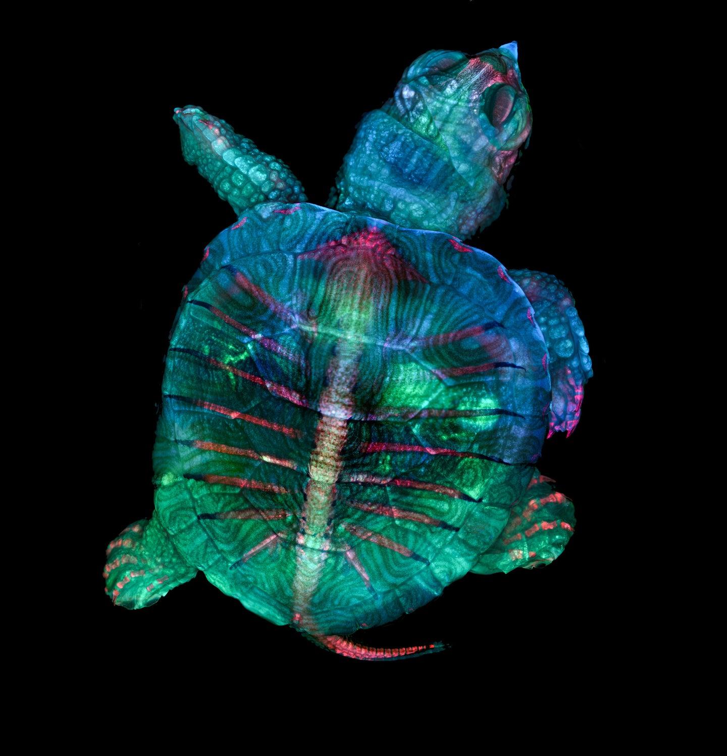 A fluorescent turtle embryo
