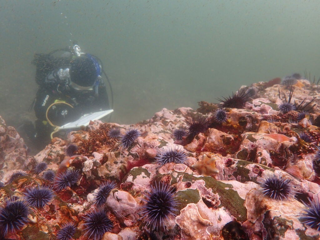 diver examines bare rock covered in purple sea urchins