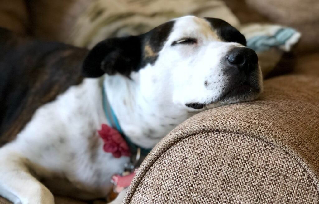 white and black dog napping on couch