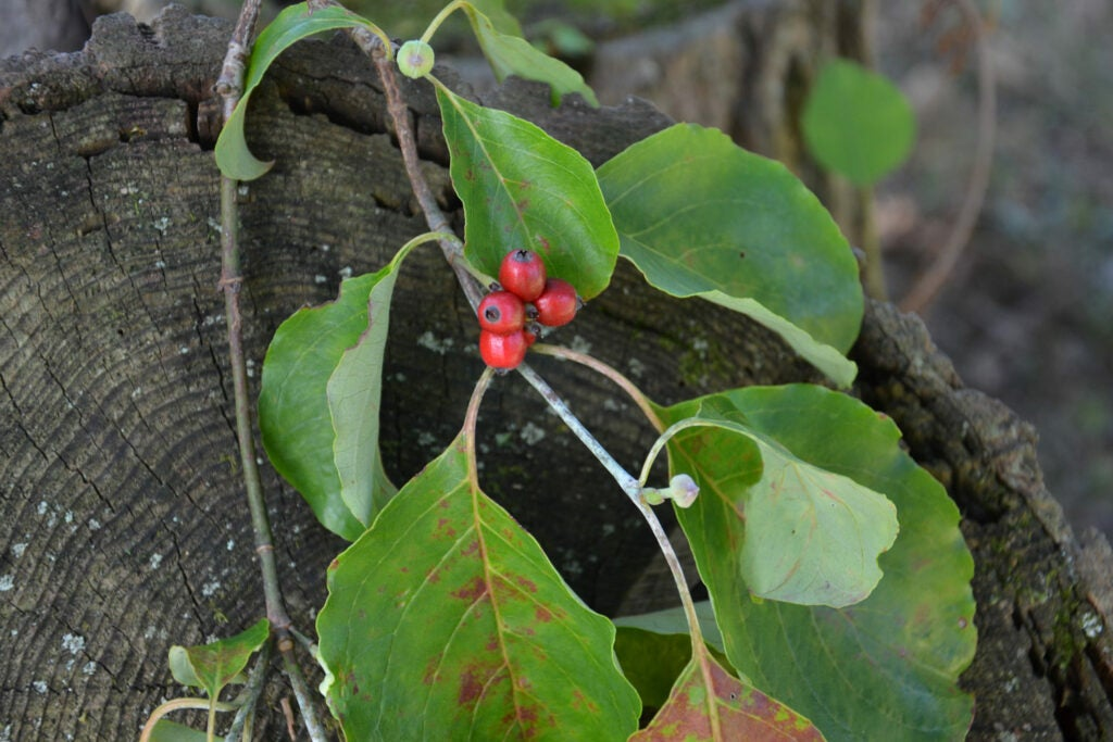 a dogwood with red berries on a branch