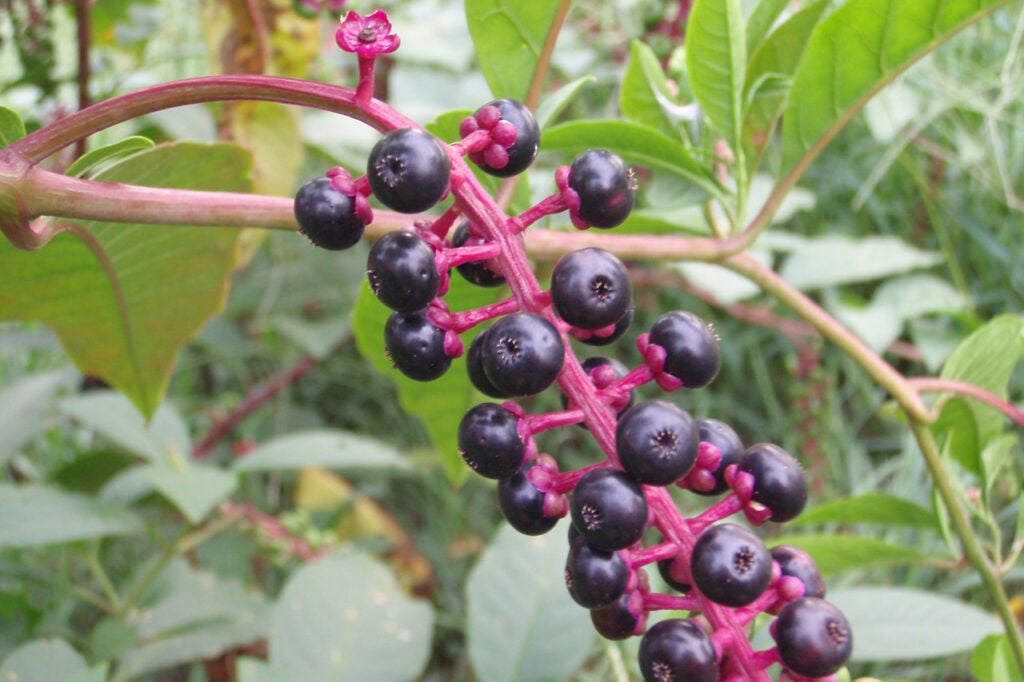 dark purple pokeberries of the pokeweed