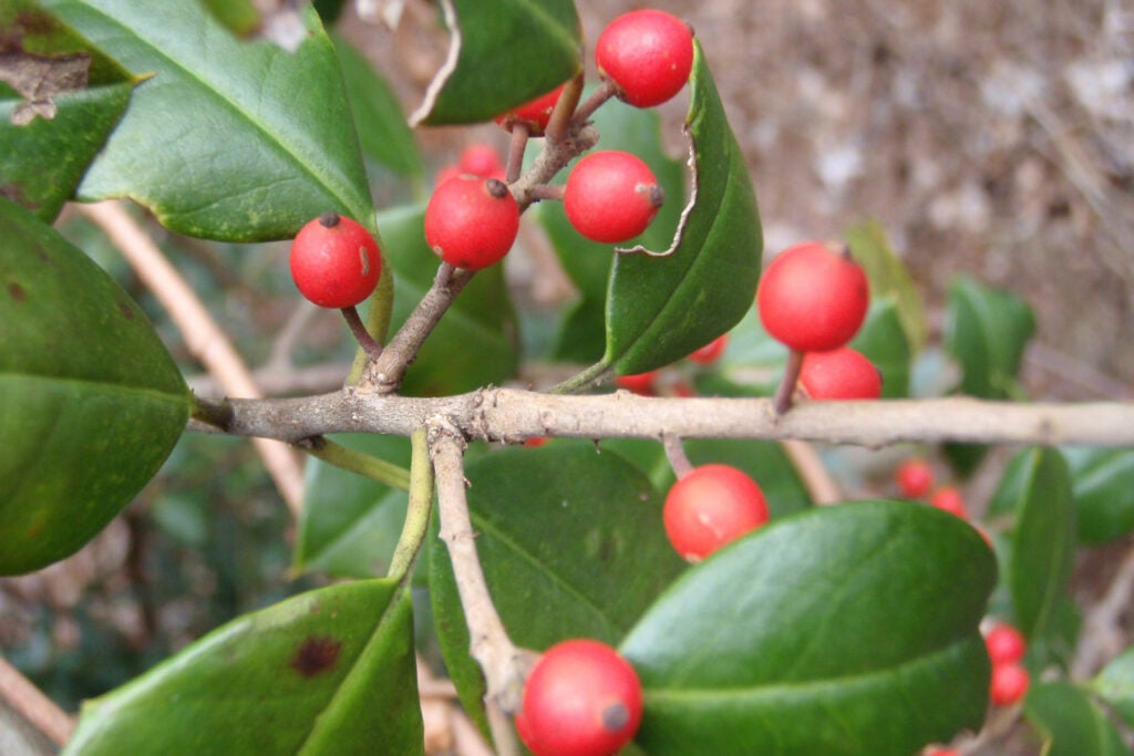 red American holly berries on a holly branch