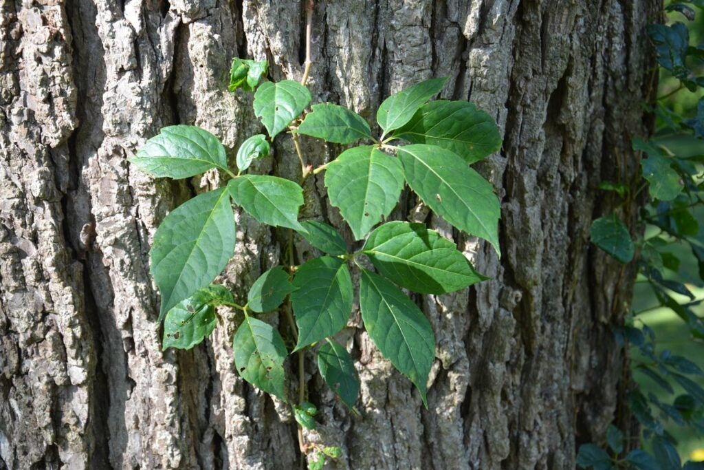 a Virginia creeper fine growing on the side of a tree