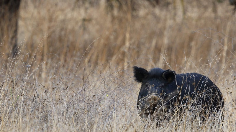The best way to deal with 30 to 50 feral hogs in your yard