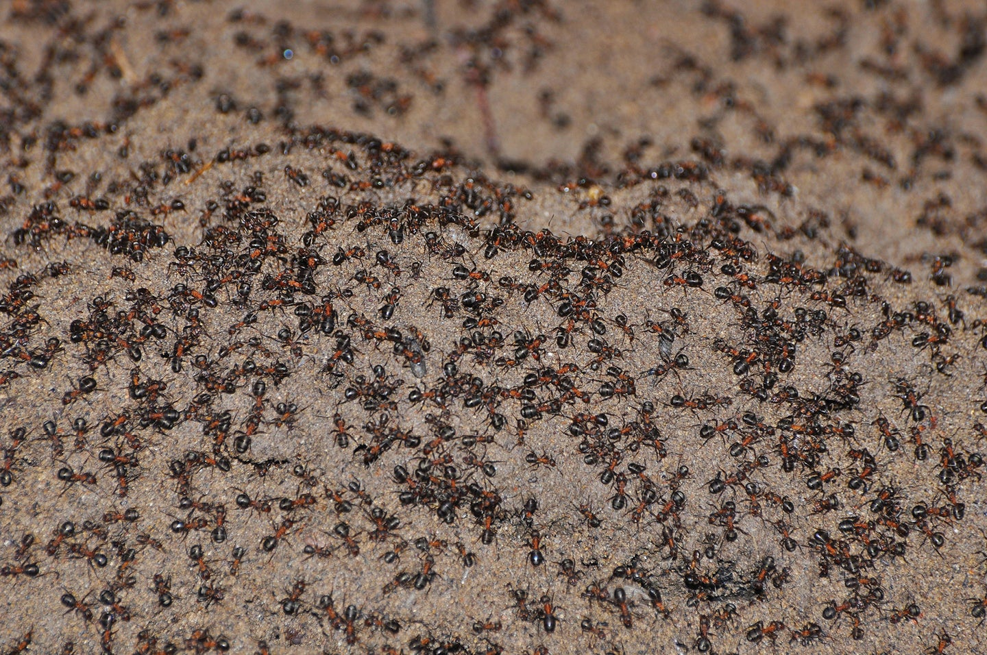 Wood ant colony in Poland