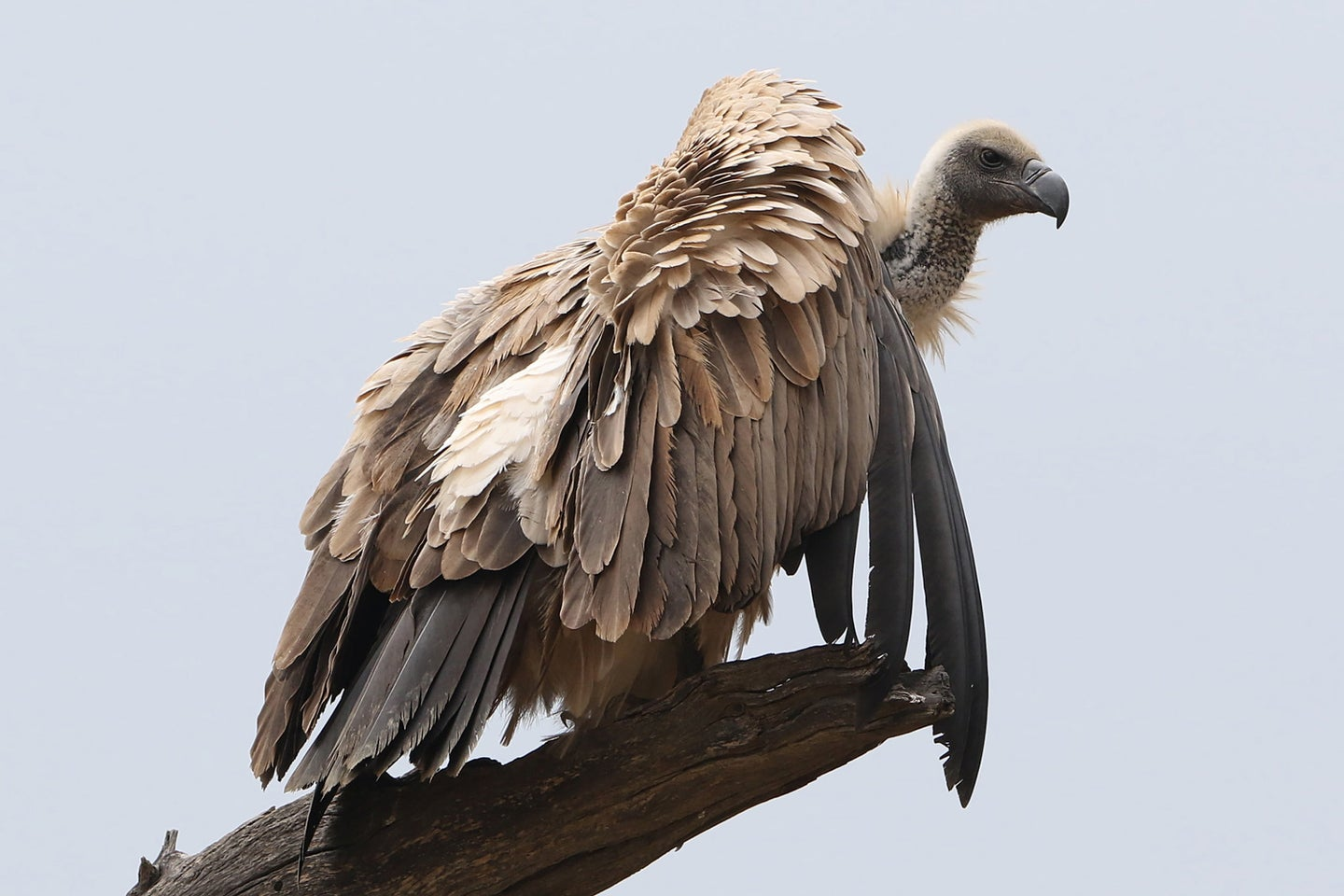 A vulture perched in a tree.