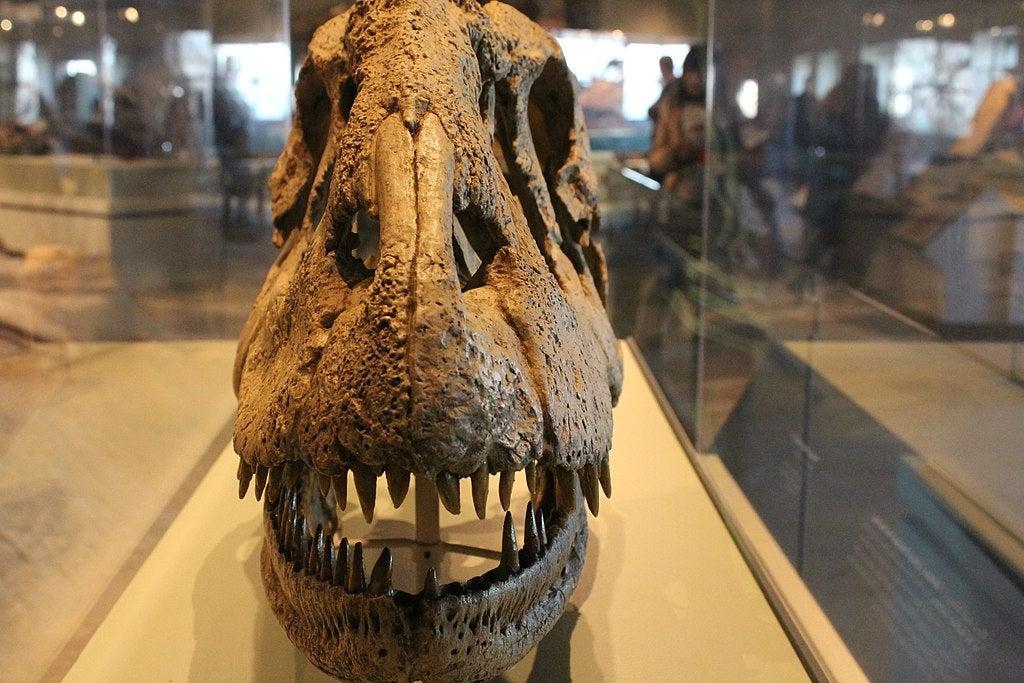 a dinosaur skull