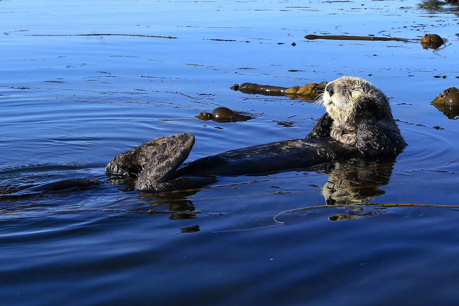 A northern sea otter swims on its back in Kodiak National Wildlife Refuge.