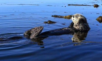A modest proposal for hunting sea otters