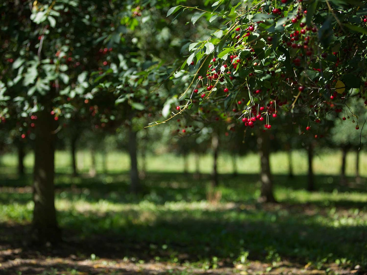 Sour cherries at one of Frederiksdal's orchards.