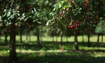 Denmark's best wine is made from cherries