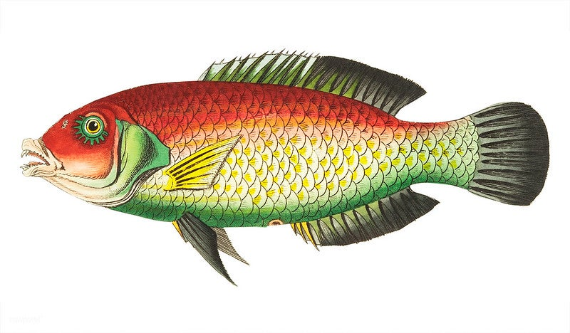 An illustration of a black-finned sparus or purplish sparus from the late 18th century.
