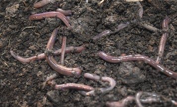 Invasive earthworms are burrowing into boreal forests worldwide