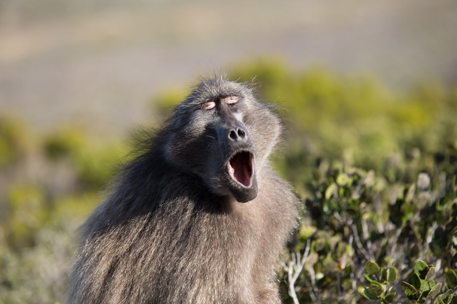 Baboon making sounds