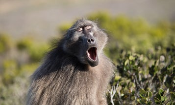 Monkey mouth sounds could push the evolution of speech back by 27 million years