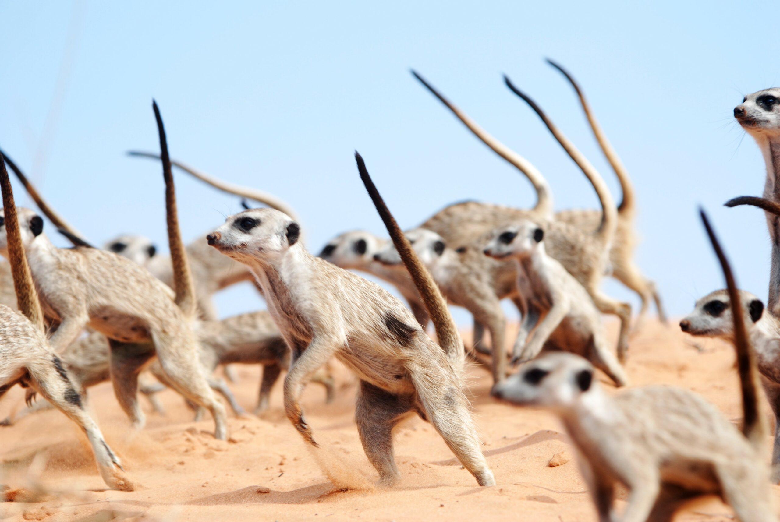 meerkat war dance