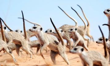 Watch meerkats engage in a fiercely adorable war dance