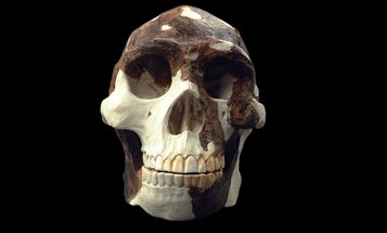 The 'granddaddy' of all early hominins walked on Earth a lot longer than we thought