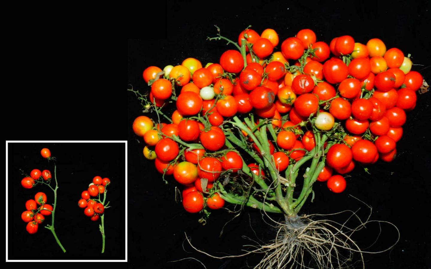 a bunch of small tomatoes