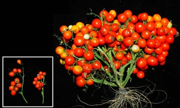 These gene-edited tomatoes grow in cute little bouquets suited to urban farming