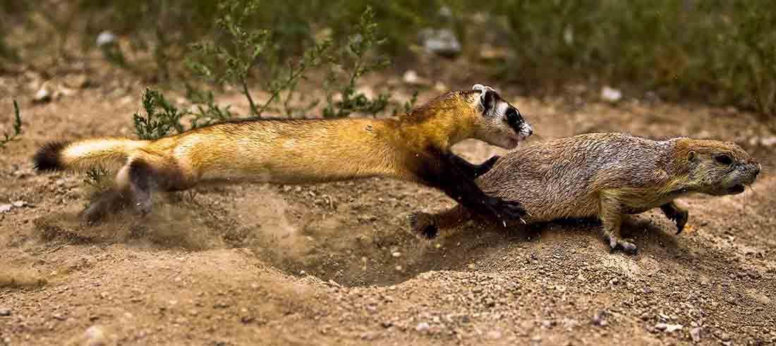 ferret captures a prairie dog