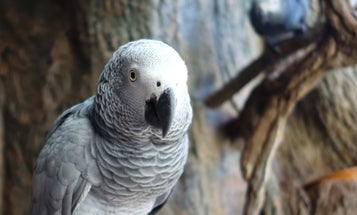 For some African grey parrots, sharing is caring