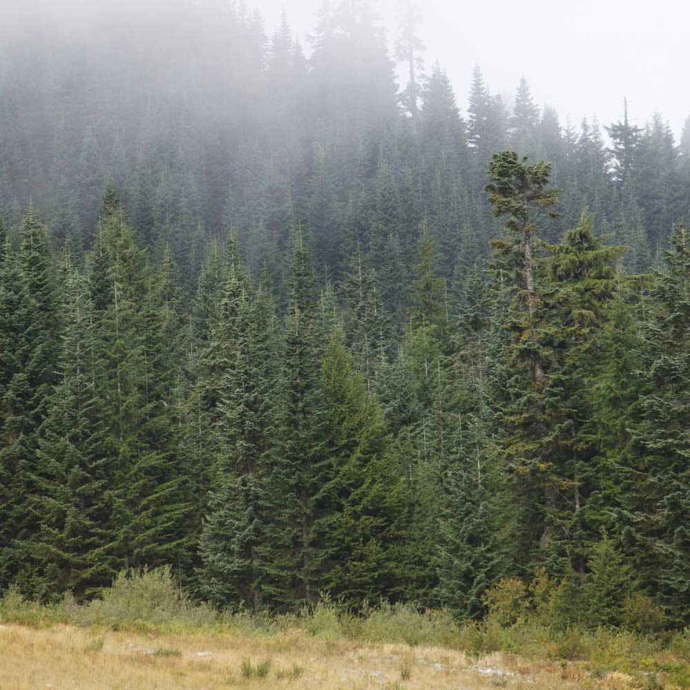 A thicket of evergreen trees.