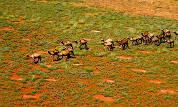 Heat and drought are causing feral camels to overrun communities in Australia