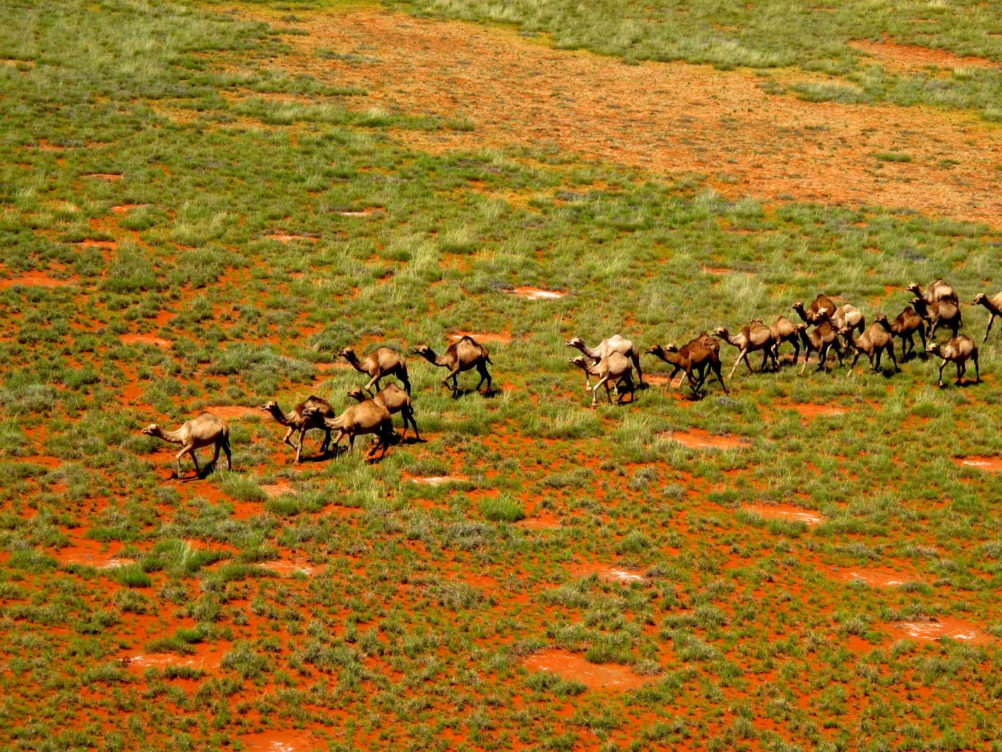 camels crossing red clay and grass terrain