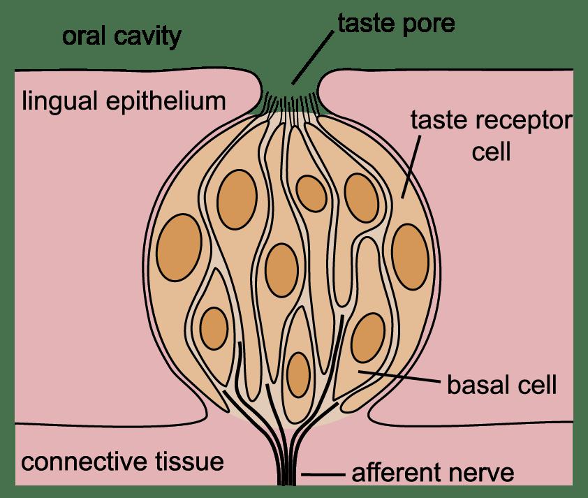 diagram of a taste bud