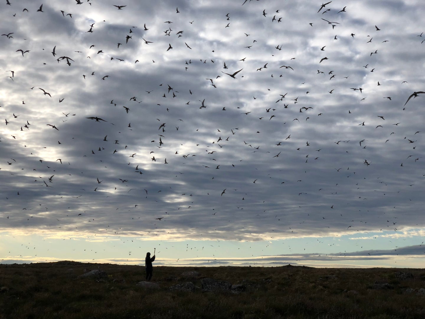 arctic terns flying against clouds with person silhouetted against background