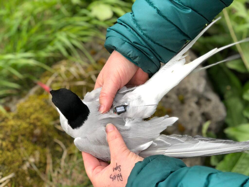 arctic tern getting a GPS tag