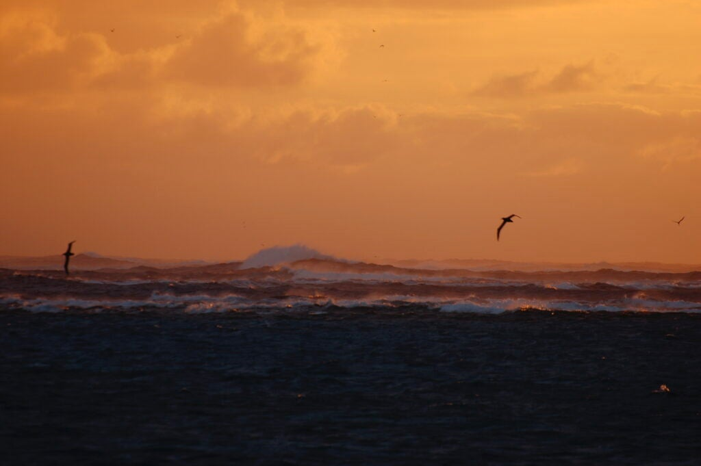 albatrosses silhouetted against a sunset sky