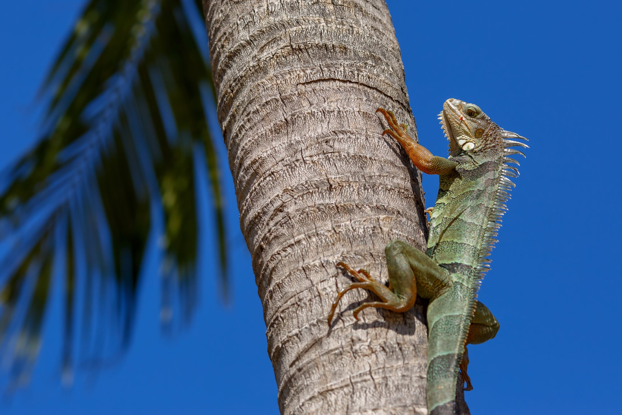 A green iguana on a palm tree trunk in Key West, Florida.