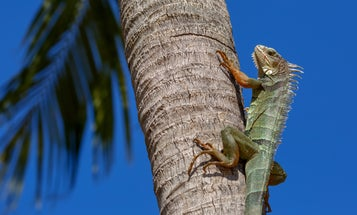 Iguanas are falling out of trees in Florida, and it's completely fine