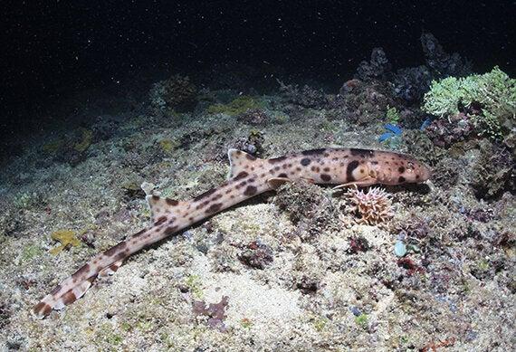 walking shark on the seafloor