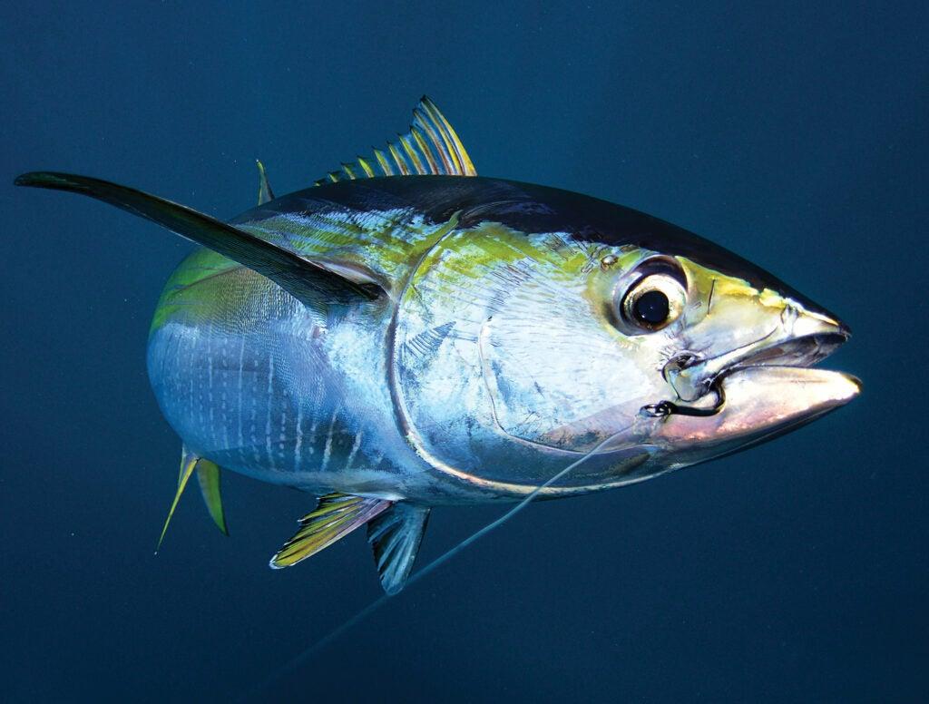 Tuna hooked with circle hook