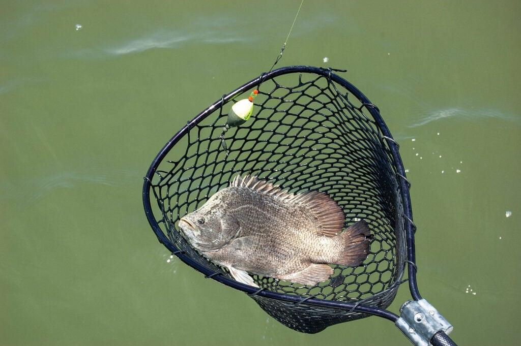 Landing net with fish