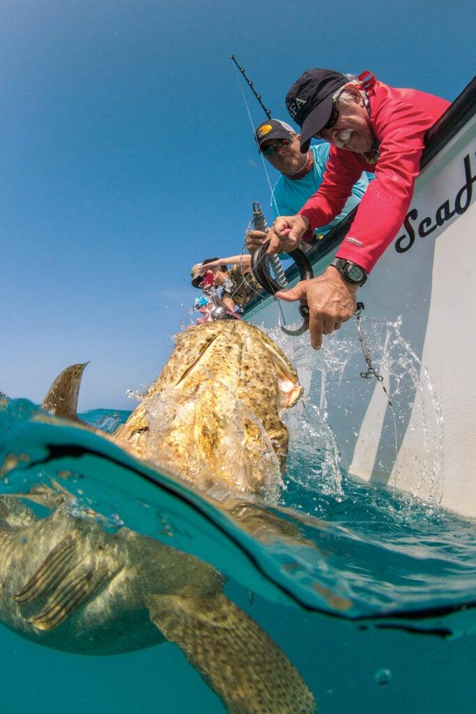 Goliath grouper release