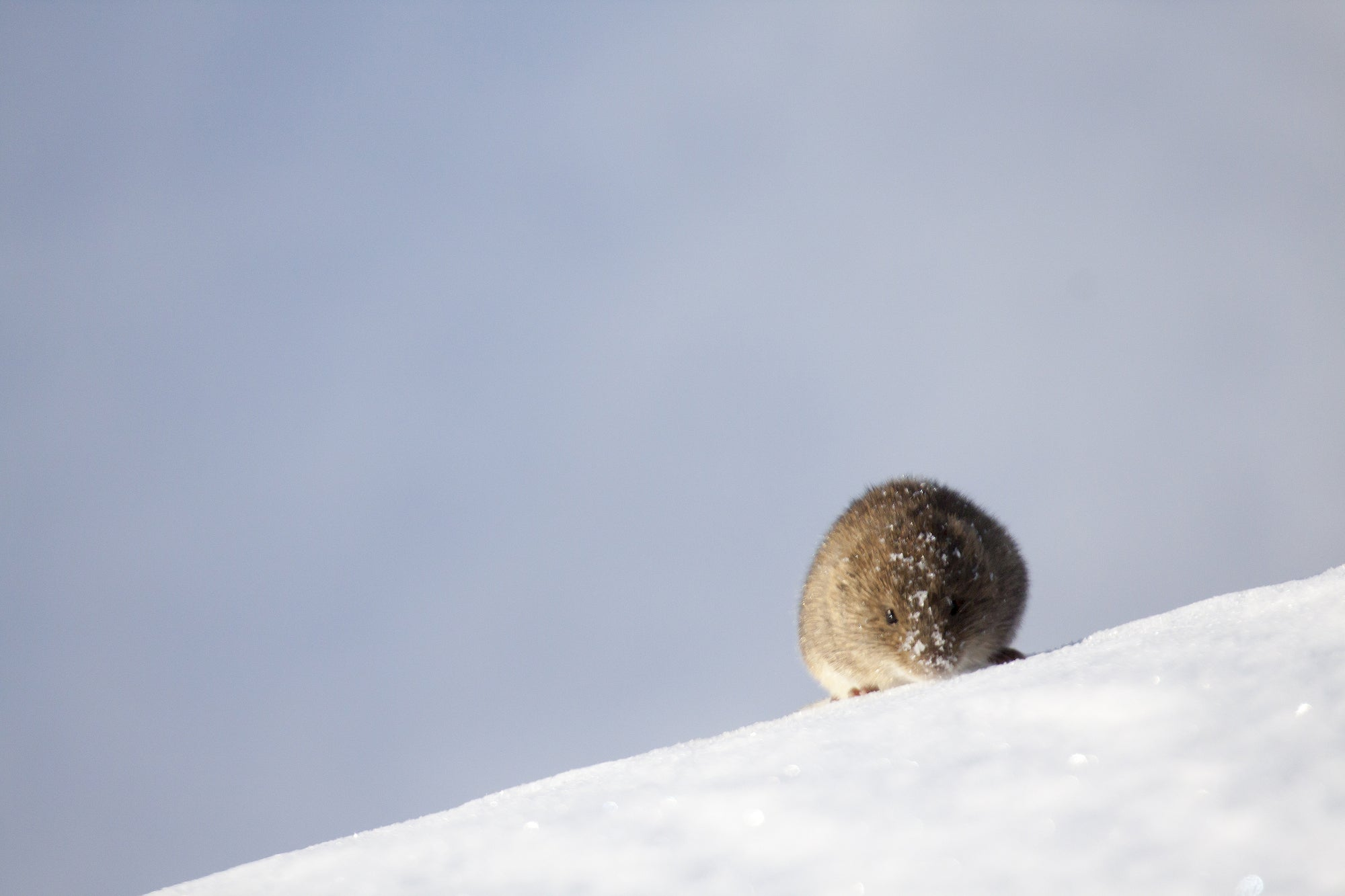 A small rodent scurries across the snow.