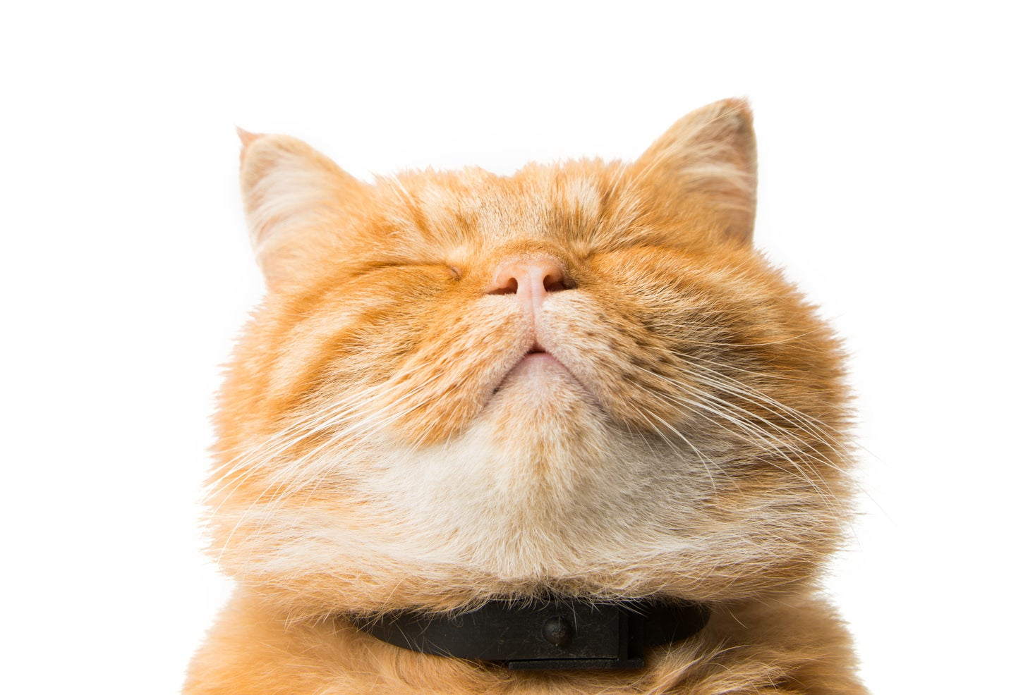 A ginger cat with its eyes closed and chin tucked up