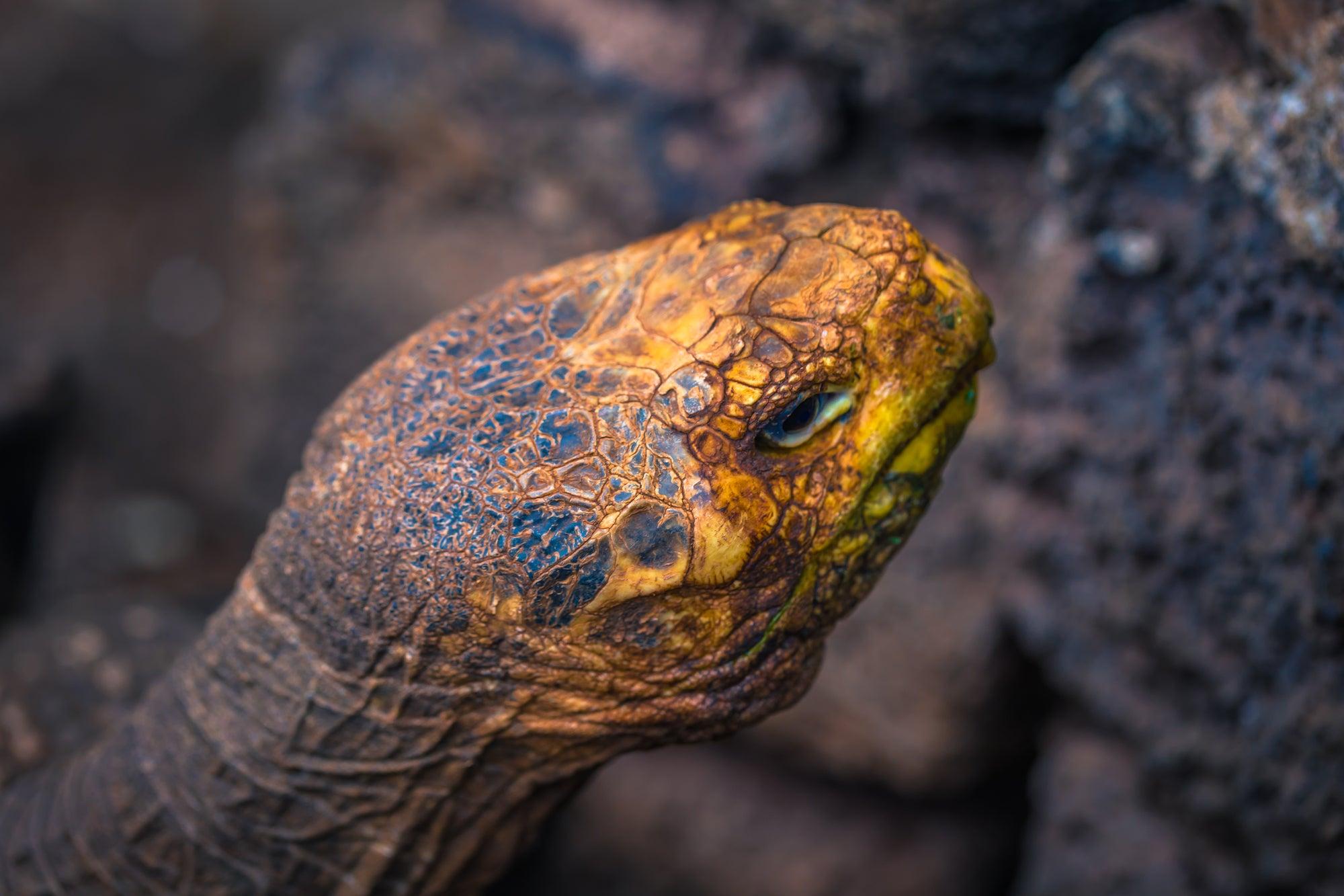 Diego the giant tortoise at a captive-breeding facility